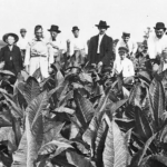 Some tobacco farmers